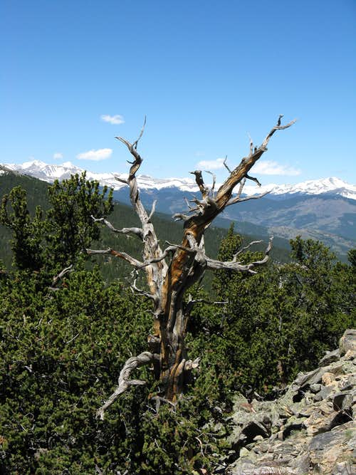 Dead Snag on Squaw Mtn