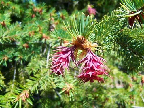 Rocky Mountain Douglas Fir, Female Cones in Spring