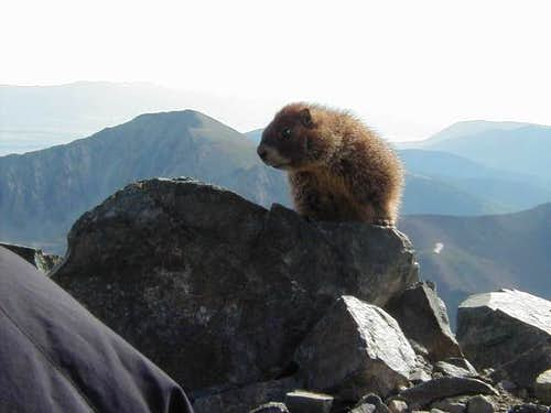 This friendly marmot keeps...