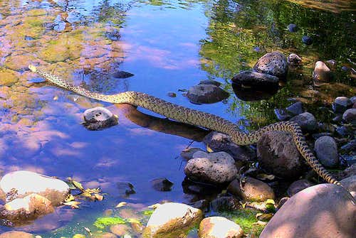 <i>Bull Snake at Beaver Creek</i>