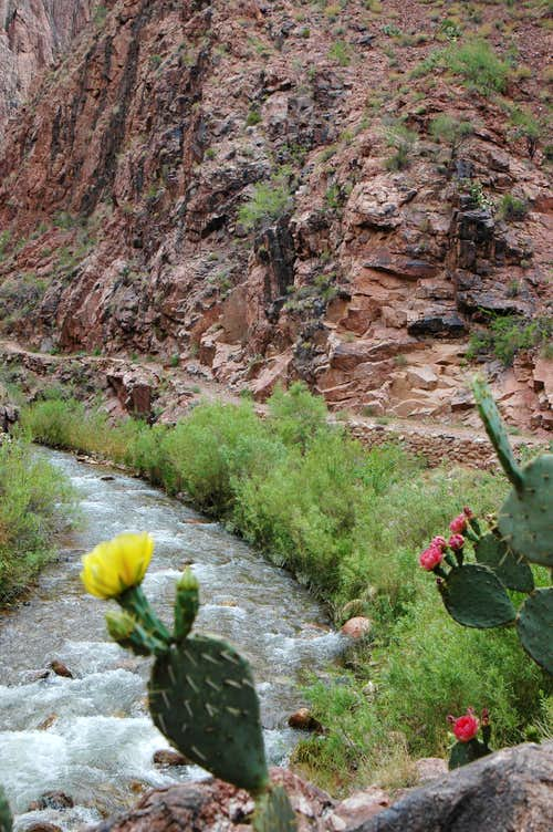 Opuntia Cactus along the North Kaibab trail