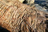 Wrinkled Bark