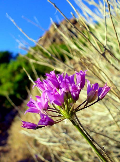 Tapertip Onion (Allium acuminatum)