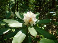 Native N.C. Rhododendron Bloom