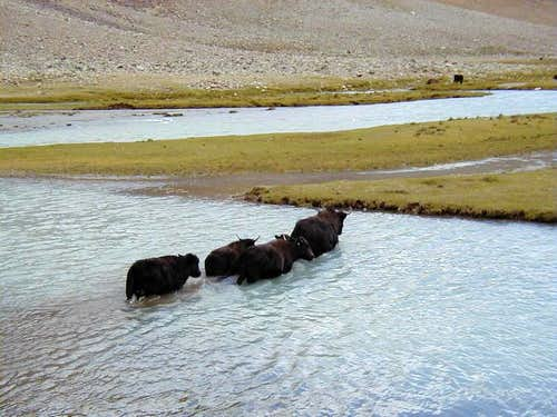 Yaks Crossing the River