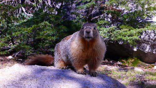 Yosemite Marmot