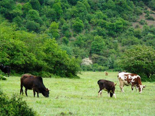 Cows in Daryasar plain