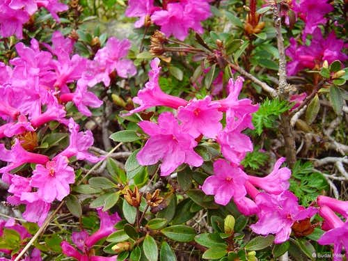 Rhododendron kotschyi