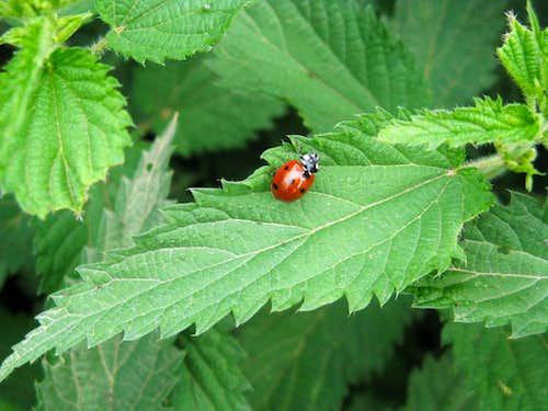 Little  Ladybug in ..