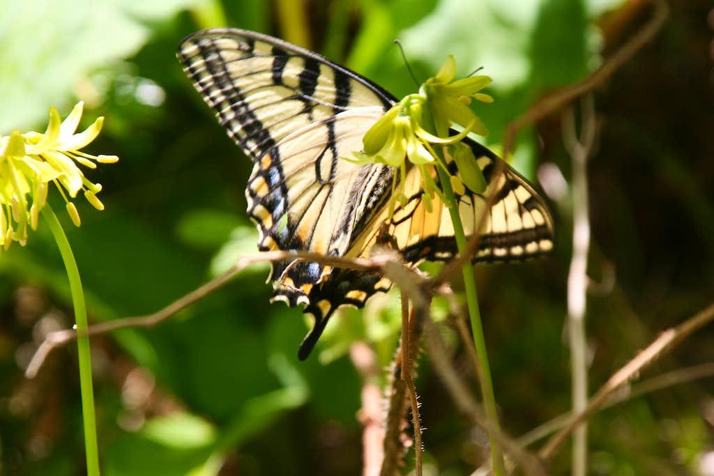 Clintonia and Swallowtail
