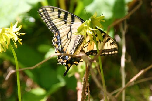 Clintonia and Swallowtail