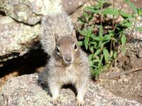 Sandia Squirrel