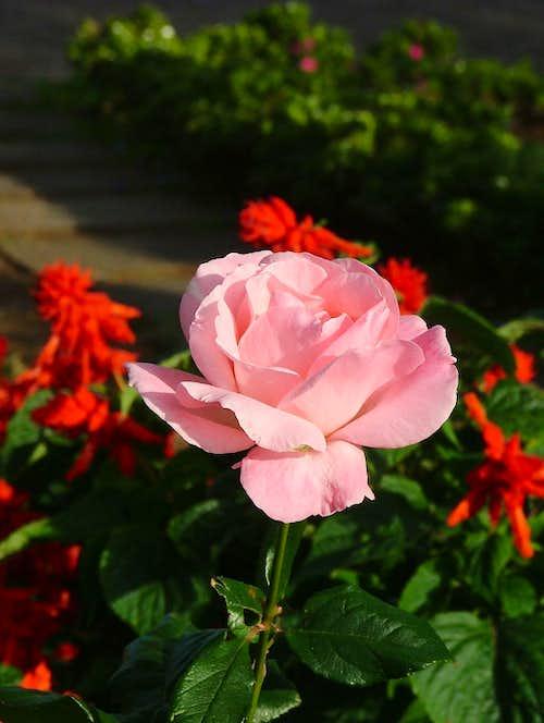 Rose/Rosaceae