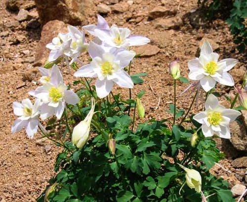 White Columbines of the...
