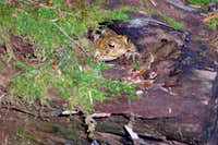 Toad in a Hollow Log