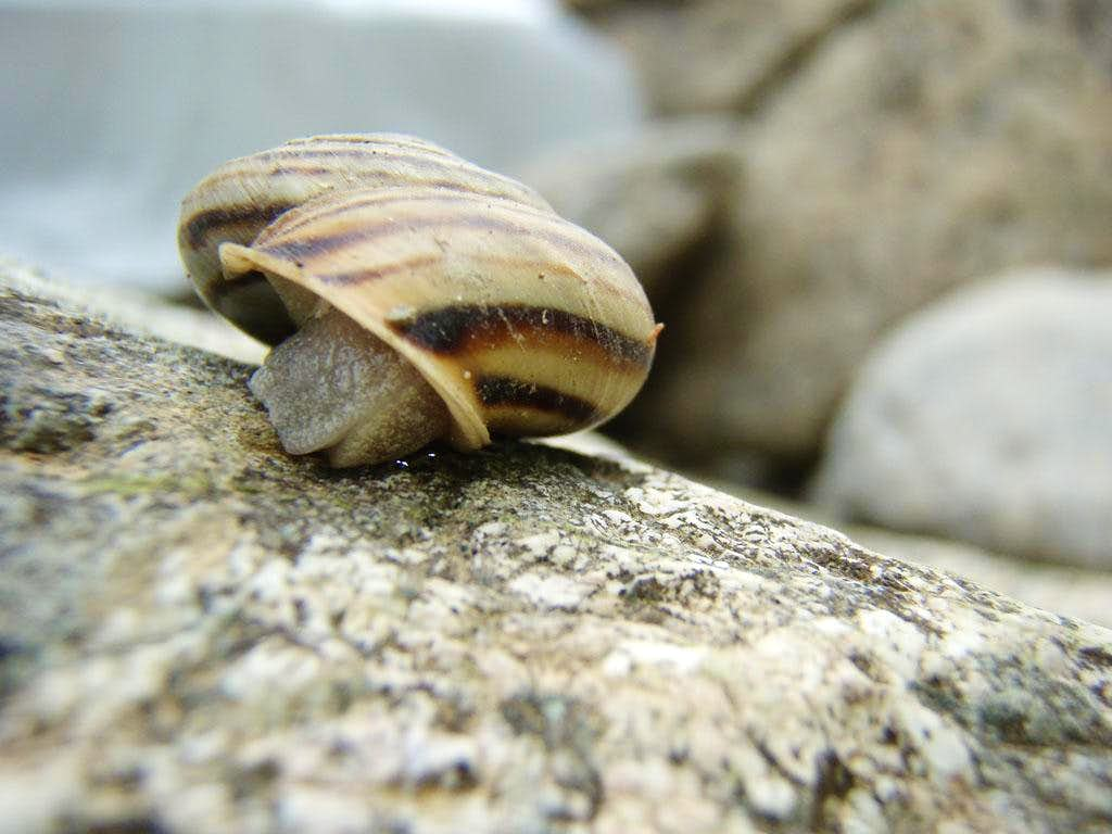 A Mollusc : Snail in the shell