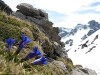 Gentian on the ridge