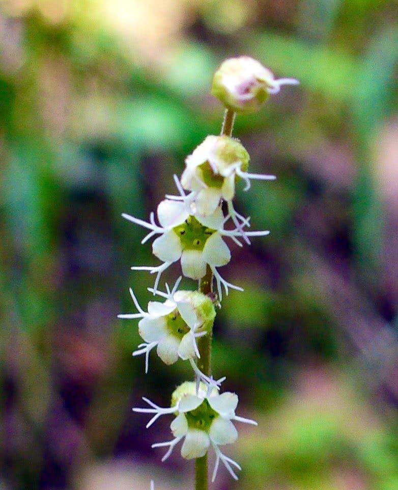 Mitrewort flowers