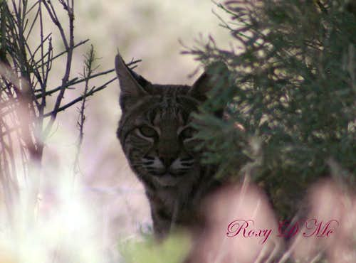 Bobcat Beauty