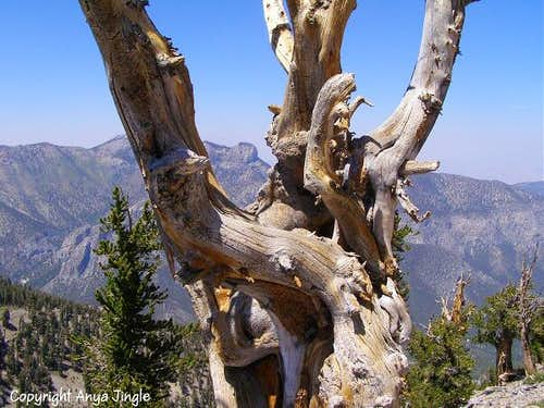 Bristlecone Pine up close