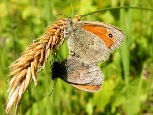 Pair of Small Heath Butterflies