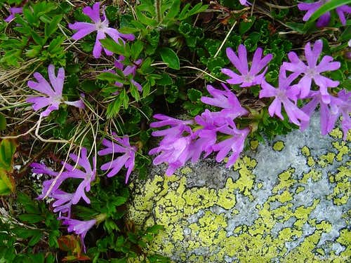 Purple miniatures