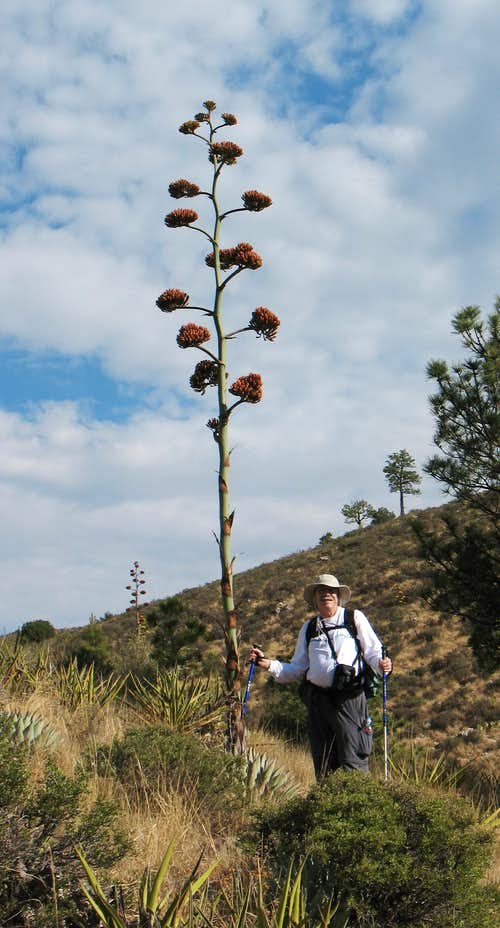 Standing next to Agave