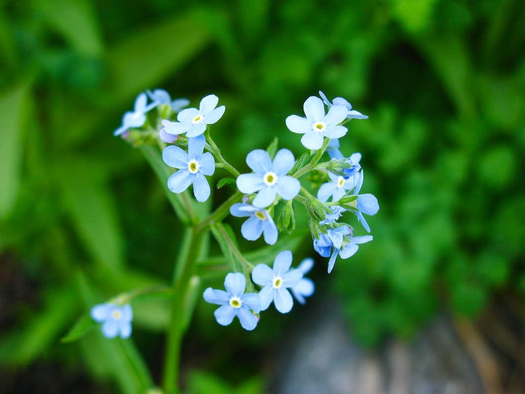 Little Blue Flowers Photos Diagrams Topos SummitPost