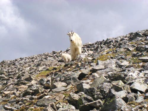 Momma goat on Grays Peak