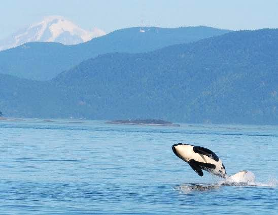 Killer whale breaches in front of Mount Baker