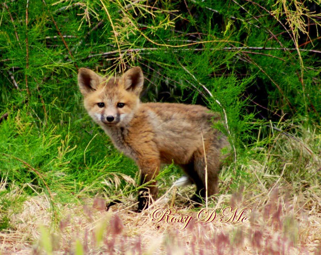 Lil' Fox