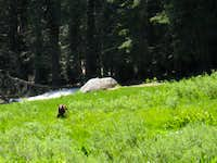 Sequoia National Forest Black Bear