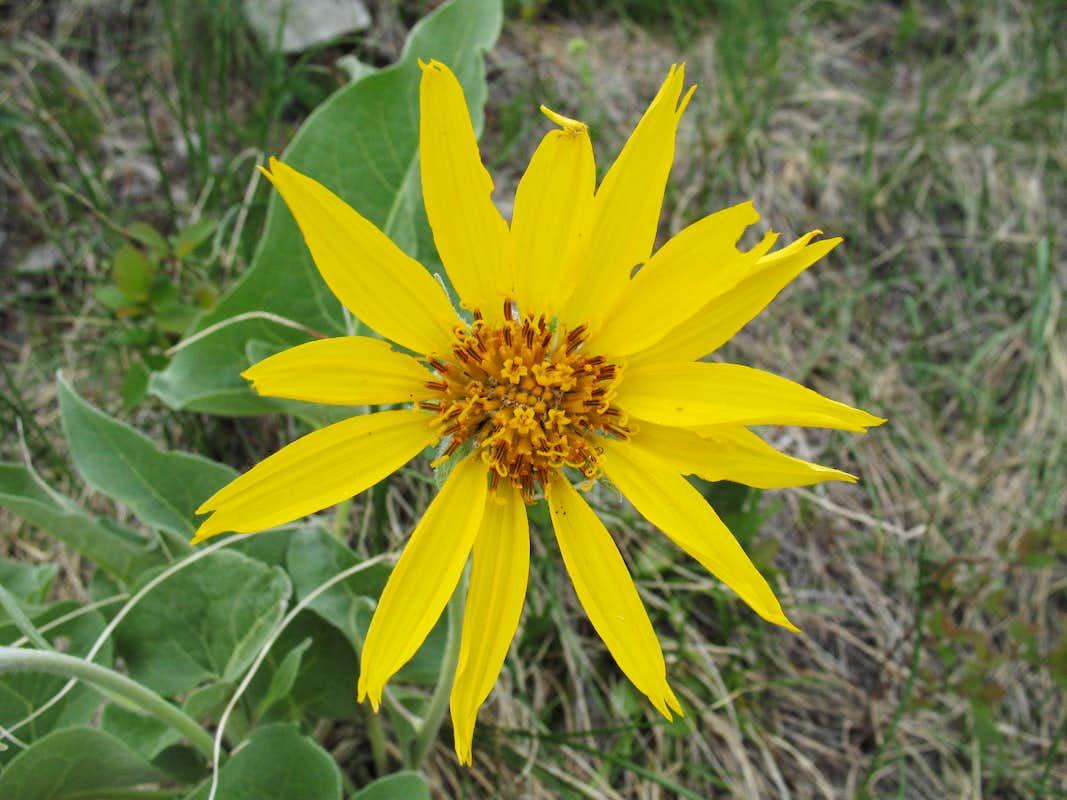 Yellow Wildflower Photos Diagrams Topos SummitPost