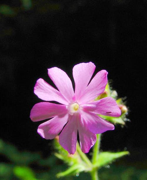 Gorski Kotar flora - Red campion