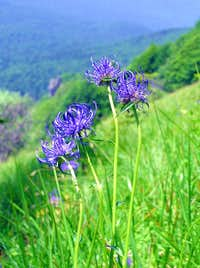 Gorski Kotar flora - Round-headed Rampion