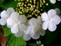 European Cranberrybush Blooms