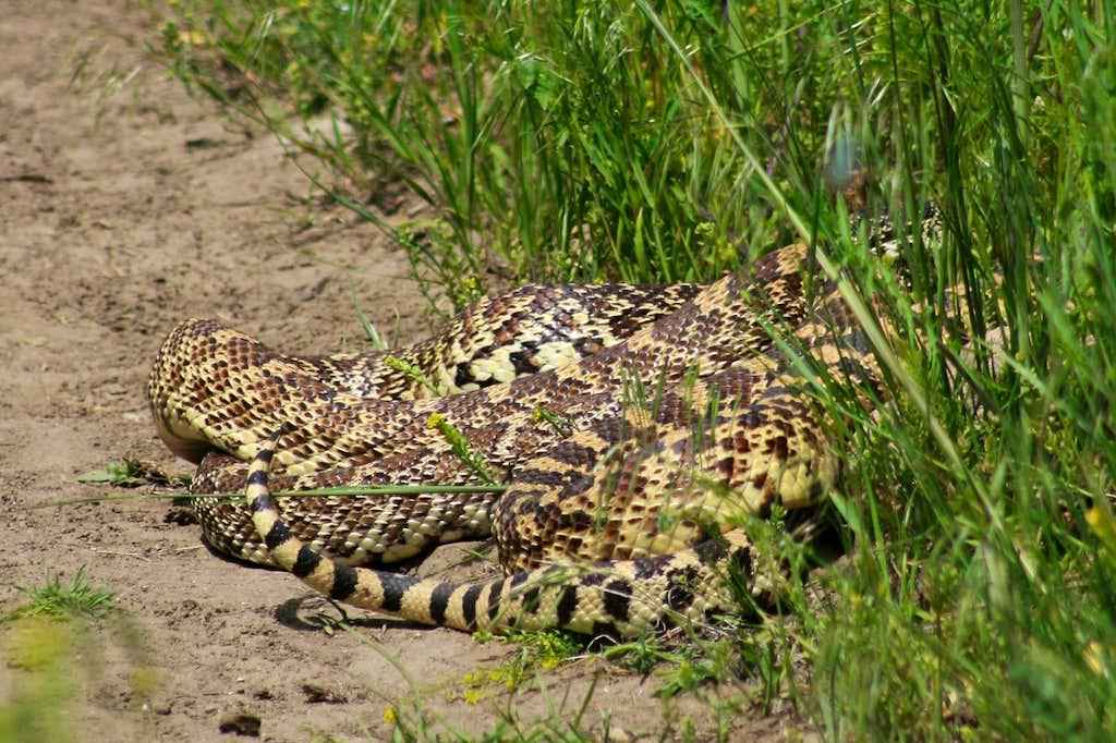 Gopher Snake Romance