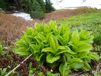 Mountain Hosta?