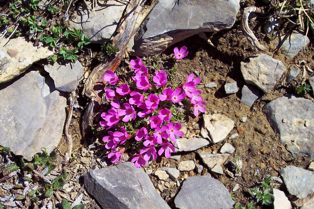 Mountain Douglasia