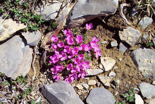 Mountain Douglasia