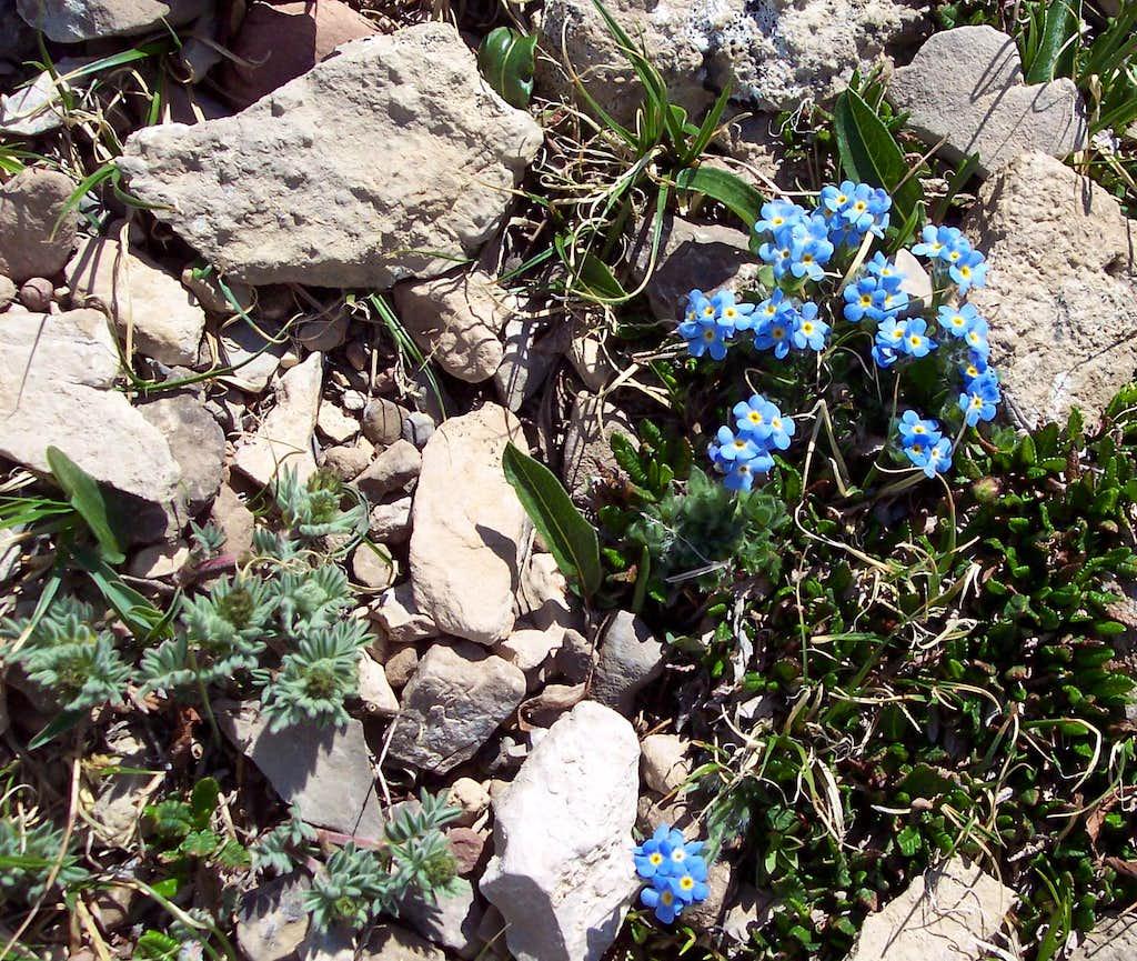 Alpine Forget-Me-Nots