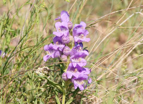 Tapered Leaved Beardtongue
