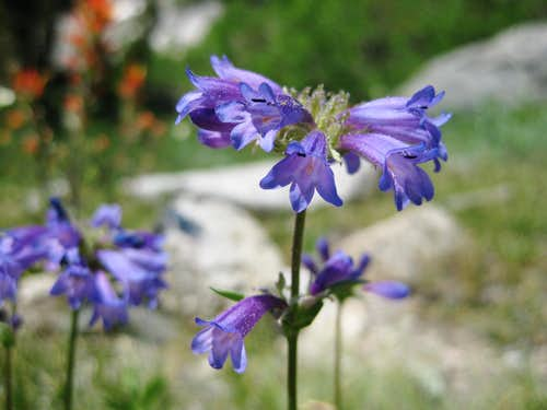 Penstemon in the Sierra