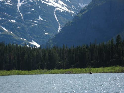 Moose in Kootenai Lake