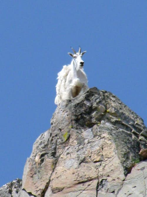 Mountain goat - West Citadel