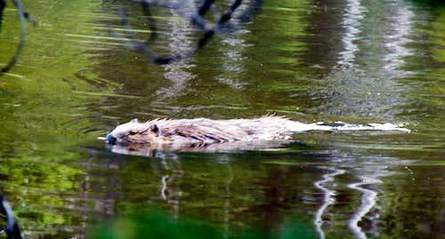 Stewart Creek Beaver