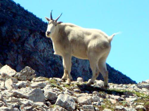 Mountain Goat on Crowsnest Mountain