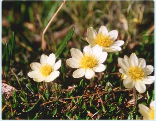 Daisy\'s emerging for the...