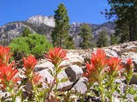 Paintbrush in Trail Canyon