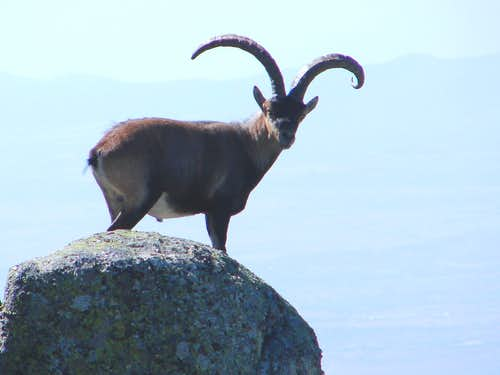 Ibex male in Gredos (Spain)